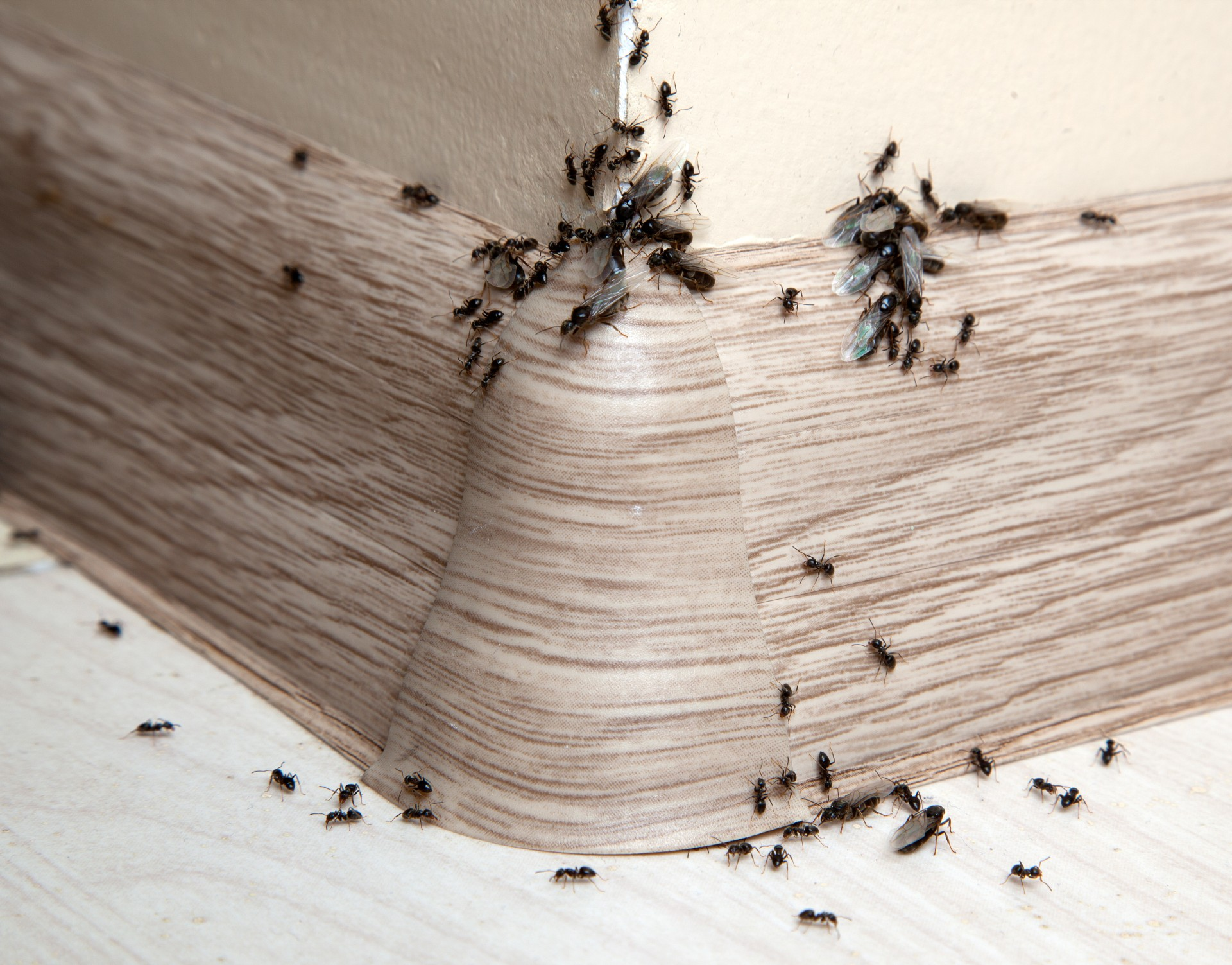 Ant Infestation, Pest Control in Shoreditch, E2. Call Now 020 8166 9746