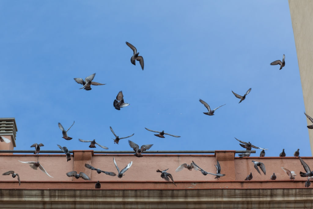 Pigeon Control, Pest Control in Shoreditch, E2. Call Now 020 8166 9746